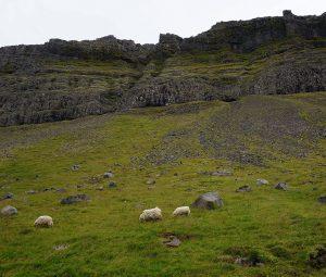 Sauðkindur á beit
